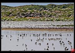 Des milliers d'oiseaux... (mamnic47 - Over 6 millions views.Thks!) Tags: stern mouette marquenterre baiedesomme vanneaux avocette huitrierpie img5767 rserveornithologique courlis vanneauxhupps aout2012