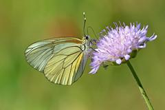 Aporia crataegi, Pieride (Lepidottero) (Mascamit) Tags: macro natura viterbo farfalla lazio farfalle pieride aporia crataegi lepidottero bassanoromano