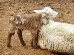 Learning the Smell of Mum (Steve Taylor (Photography) Internet V slow) Tags: brown white sheep mother smell newborn learning lamb checking aroma mottled smelling ewe dayold mfcc thegalaxy