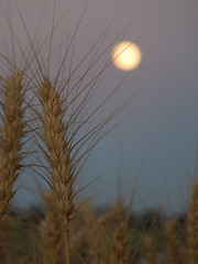 Grain Moon (exit1A) Tags: home harvest wheatfields grainmoon latahcountyid goldhillcemetery