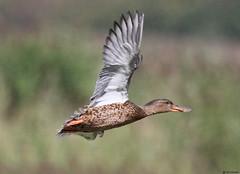 Mallard Duck female (timz501) Tags: bird jersey mallard anasplatyrhynchos