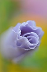 Love Is A Flower, You Are Its Only Seed..... (Anna Kwa) Tags: flowers macro art colors garden singapore roseofsharon hibiscussyriacus thegalaxy purplehibiscus flowersarebeautiful mimamorflowers mygearandme panoramafotográfico bestevercompetitiongroup