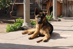 Duende (Iron Horse.) Tags: cute casa cachorro stick germanshepherd macho duende pastoraleman layingdog