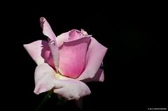 Let the light shine on you, even in a dark world. (JSB PHOTOGRAPHS) Tags: flowers flower rose oregon garden bokeh eugene owen bokehlicious dsc00842