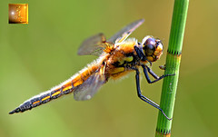 dragonfly (gray clements) Tags: yellow hair wings dragonfly exeter 7d darter picturestakenwithcanon7d