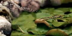 Il salto della rana (_milo_) Tags: verde green canon eos jump drop frog salto rana tamron acqua germania manfrotto gocce 70300 treppiede 60d