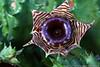 Huernia zebrina Phillips (FlosPassionis) Tags: asclepiadaceae huerniazebrina