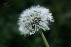 Dandelion Wishes (AYUMI-TURQUOISE) Tags: flower macro green soft turquoise dandelion federica ayumi pagano soffione