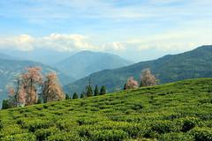 Temi (Sandeep Santra) Tags: travel trees sky cloud india mountain plant detail canon landscape photography eos tea hill himalaya teagarden sikkim temi bloosom 500d travelphotography incredibleindia ravangla mayum temiteagarden canonefs1855mmf3556is sandeepsantra