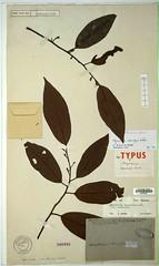 Myristica cumingii (Mindoro form), ST, L37621