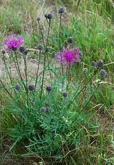 Skabiosen-Flockenblume_DSC_2865 (schaefer_rudolf) Tags: blte asteraceae centaurea flockenblume wildpflanze korbbltler krbchenblumentyp rotrotviolett