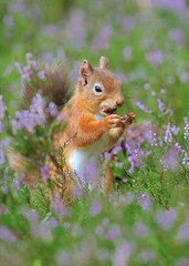 Red Squirrel (Sciurus vulgaris) Explore  Sept 23 2012.    #59 (Col-page) Tags: scotlandheatherredsquirrel