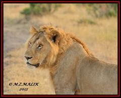 YOUNG ADULT MALE LION KING  (Panthera leo)  ......MASAI MARA......SEPT 2015 (M Z Malik) Tags: africa nikon leo kenya wildlife ngc safari kws masaimara d3x flickrbigcats exoticafricancats exoticafricanwildlife 200400mm14afs