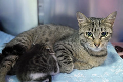 Mama & Babies_03 (AbbyB.) Tags: mtpleasantanimalshelter easthanovernj newjersey shelter pet rescue adopt petphotography shelterpet cat kitten momandkittens babies kitty