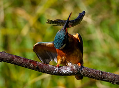 Kingfisher Female Alcedo atthis 034-1 (cwoodend..........Thanks) Tags: 2016 brandon brandonmarsh steetleyhide westmarshpool wwt warwickshirewildlifetrust kingfisher kingfisherfemale alcedoatthis