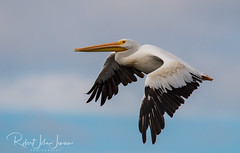 Grace in the Air (~ Bob ~) Tags: american white pelican graceful nature flight whidbey island washington state americanwhitepelican whidbeyisland washingtonstate bird