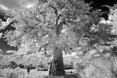 Tree of Life (zenseas) Tags: treeoflife tree old baobab baobabwithleaves mahangogamepark bwabwatanationalpark bw blackandwhite ir digitalinfrared infrared namibia selfdrive driving caprivistrip caprivi africa treeofafrica adansonia adansoniadigitata surreal dreamlike dream