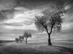 Ca de Caroli (Marzio J) Tags: paesaggio olivi filare collina bn marzioiotti fz200