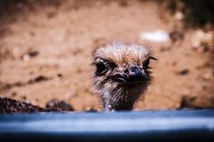 Granja Aventura y Alquzar (18) (Fernando Soguero) Tags: avestruz ostrych granjaaventura barbastro somontano huesca animales animals