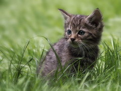 It's a wild world (FocusPocus Photography) Tags: wildkatze wildcat felissilvestris kitten jungtier ktzchen katze cat feline tier animal wildtier wildlife wildparadies tripsdrill gras grass
