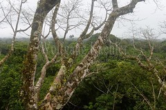 60071610 (wolfgangkaehler) Tags: 2016 southamerica southamerican ecuador ecuadorian latinamerica latinamerican rionapo rionapoecuador rionaporiver rainforest coca cocaecuador laselvalodge observationtower tower rainforestcanopy epiphyticplants epiphyte epiphytes trees