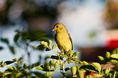 Lesser Goldfinch at Rest (1) (phicks172) Tags: bird finch