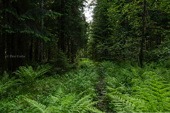 My Paths, My Heart (grus_p) Tags: mypathsmyheart forest trees tranquillity countryside calmness fern path green finland nature nikon luminanceborale landscape