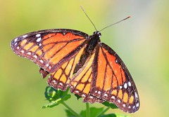 viceroy at Seed Saver's Exchange IA 854A9977 (lreis_naturalist) Tags: viceroy butterfly seed savers exchange winneshiek county iowa larry reis