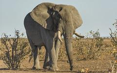 In The Land Of The Giants (philnewton928) Tags: elephant elephantbull africanelephant loxodontaafricana mammal wild wildlife animal animalplanet nature natural mopani kruger krugernationalpark africa southafrica outdoor outdoors safari nikon nikond7200 d7200