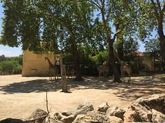Girafe- Parc zoologique de lisbonne (stefff13) Tags: parc zoologique zoo lisbonne animaux animals portugal girafe