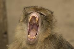 Berberaap - Ouwehands (Jan de Neijs Photography) Tags: berberaap berber aap ouwehandsdierenpark ouwehands tamron tamron150600 barbarymacaque zoo dierentuin