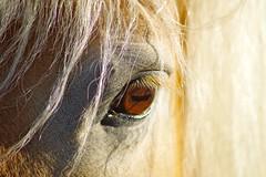 Sunny's Left Eye (frankbehrens) Tags: horse pony pferd haflinger eye auge