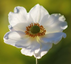Windflower (ekaterina alexander) Tags: windflower anemone flower white green centre autumn bloom ekaterina england alexander sussex nature photography pictures flowers