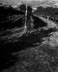 Tuscan Vineyard (Maria Reverberi Studio) Tags: tuscany italy pienza travel vineyard wine analogcamera monochrome film