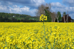 Memories of the spring (KPPG) Tags: pflanze feld landschaft ackersenf outdoor blume schrfentiefe frankreich hautenormandie giverny frhling samsungnx nx3000