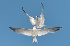 Elegant Quarrel! (bmse) Tags: elegant tern bolsa chica quarrel dispute fight bmse salah baazizi wingsinmotion canon 7d2 400mm f56 l