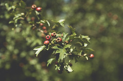 Haw (pawelr1989) Tags: haw hawthorn bokeh fruit blooming tree green summer outdoors