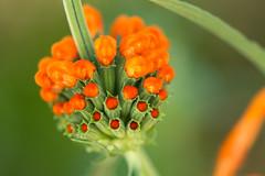Colour explosion (lara_1012) Tags: nature plant flower macro orange green leonotisleonorus lionstail