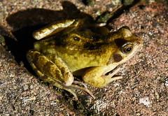 DSC_2967a (PeaTJay) Tags: nikond750 reading lowerearley berkshire macro micro closeups gardens outdoors nature reptiles amphibians frog frogs