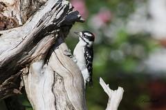 Pic mineur  / Downy woodpecker (ricketdi) Tags: bird cantley downywoodpecker pic picmineur picoidespubescens