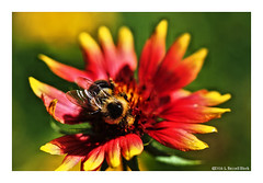 Fumble Bumble (TooLoose-LeTrek) Tags: olympusomdem5ii bee bumble flower pollen color bloom