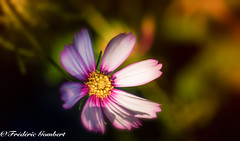 great light (frederic.gombert) Tags: cosmos flower star light sun sunlight macro macrodreams flowers garden nikon d800 summer spring plant