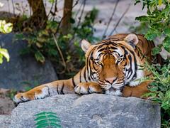 Tiger (HeinzLustig) Tags: city nature berlin photography d600 berliner nikond600 germany natur photo green grn auge eye zoo gelb nikon tiger tierpark raubkatze