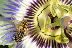 Football is his passion (suekelly52) Tags: flower hoverfly helophiluspendulus passionflower passiflora diptera fly