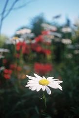 Daisy Bokeh (Nsharp17) Tags: bokeh depthoffield flower daisy foreground 35mm film kodak portra portra160 mamiya mamiyasekor500tl