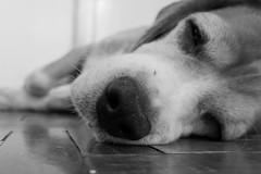 Beagle (joannneri) Tags: blackandwhite leicadluxtyp109 leicadlux leica dog beagle