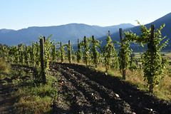 Vineyard morning (Tudor G.) Tags: vineyard wein weinberg vie slovenia slovenie slovenja