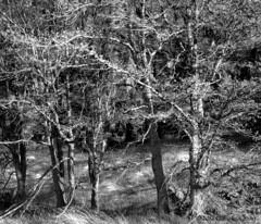 Trees Along SR 14, Washington (Gary L. Quay) Tags: trees washington columbia quay hasselblad gary gorge 500cm foolscape garylquay foolscapeimagery