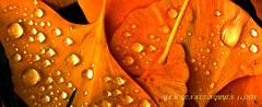 bijoux, or, dor, goutelette, automne, ginckbo, billoba, (tamycoladelyves) Tags: cute nature ecology rural wonderful landscape countryside amazing nice fantastic natural hiking walk priceless awesome great super gone trail promenade round stunning excellent belle extraordinaire gr sortie lovely charming paysage goodmood campagne sentier marche beau magnifique chemin insolite beautifull bucolic delightful flore balade bello grp randonne trange faune pleinair cologie superbe bucolique oustanding joiedevivre dveloppementdurable pnr ravissant joyoflife parcnaturelrgional champtre surprenant bonnehumeur sentierpdestre ceintureverte chemindegranderandonne carnetderandonne