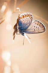 Silver-studded Blue - Plebejus argus (L.Mikonranta) Tags: blue macro ex nature canon butterfly finland eos sigma apo 5d 28 f28 dg argus mkii markii 150mm silverstudded southernfinland inkoo plebejus hsm sigma150mm28macro sigma150mm28 kopparns canoneos5dmarkii 5d2 5dii canoneos5dmkii 5dmk2 5dmark2 kangassinisiipi canoneos5dmark2 sigma150mmf28exdghsmapomacro copyrightlm